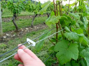 Agrafe_biodegradable_viticulture